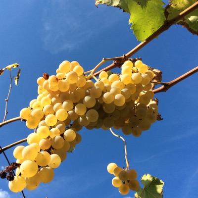 07_acetaiavillabianca_grapes_and_sky1