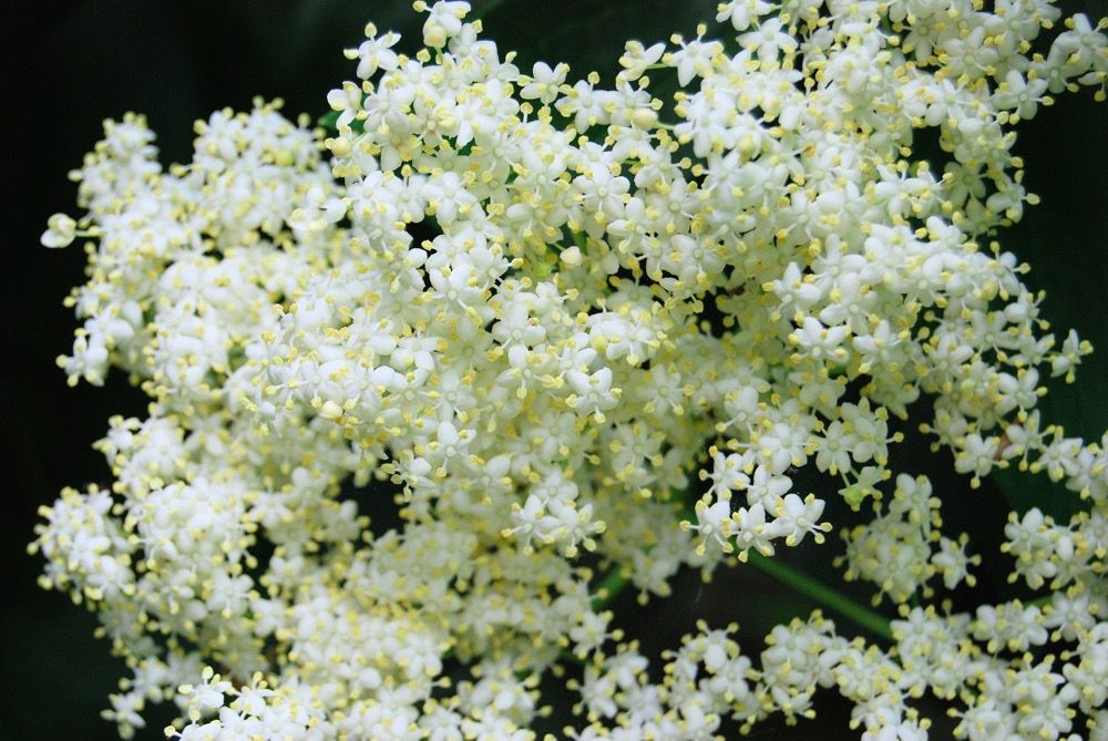 How to Make Homemade Elderflower Syrup